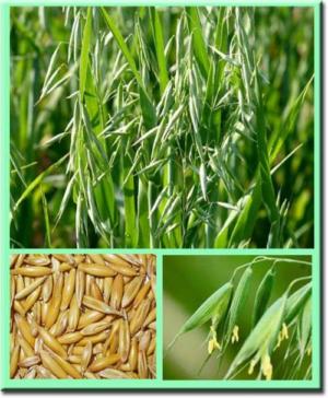 Овес как сидерат: польза и вред, достоинства и недостатки, когда сеять, каким растениям подходит