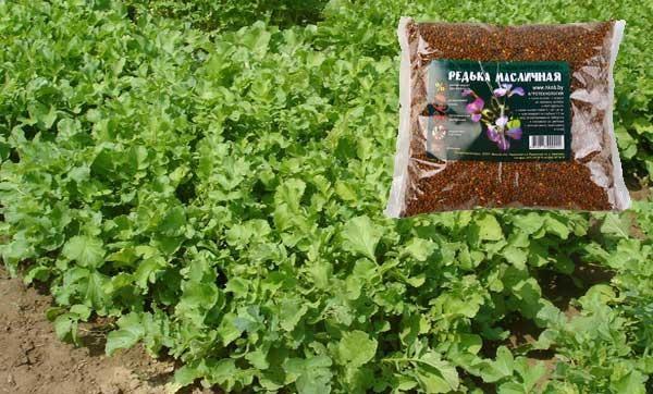 Редька масличная как сидерат: когда сеять, как выращивать, достоинства и недостатки, отзывы, фото