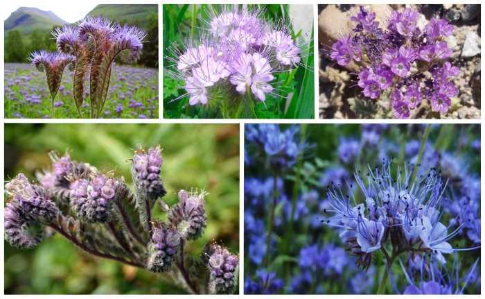 Фацелия сидерат: когда сеять в открытый грунт, как применять, для каких растений подходит, отзывы