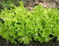 Как правильно садить салат