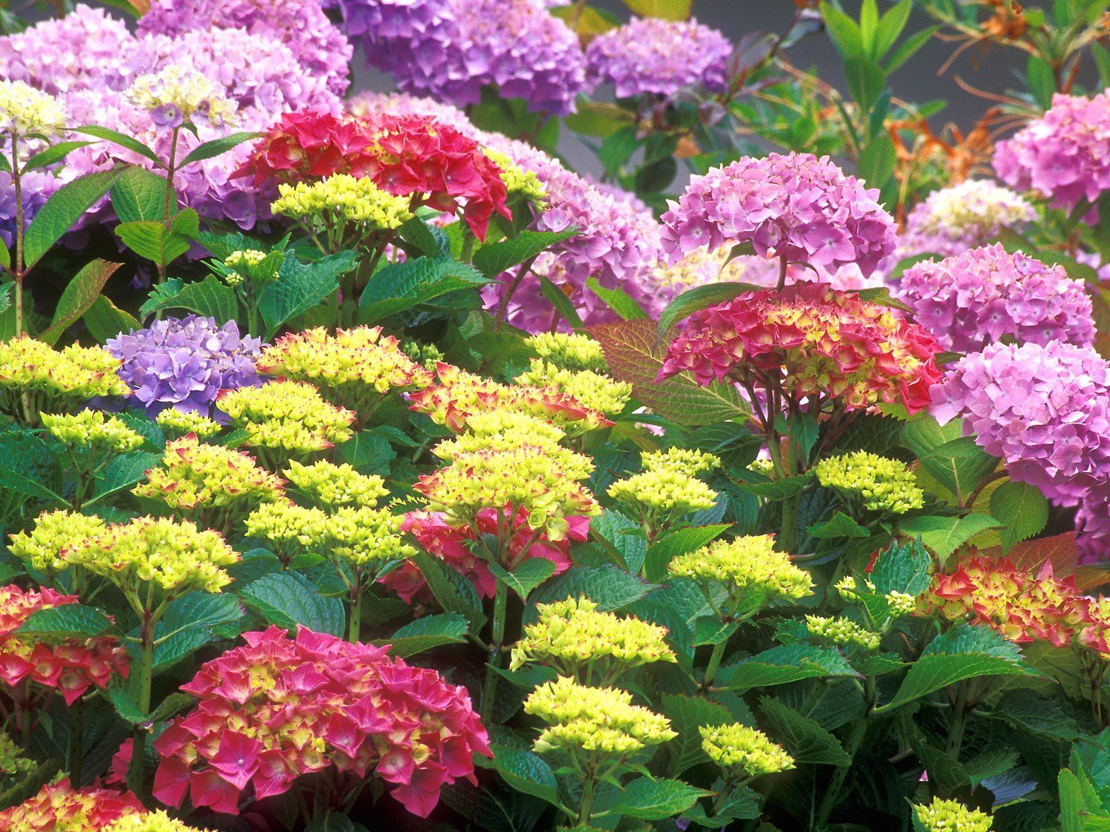 Цветы садовые высокие многолетние